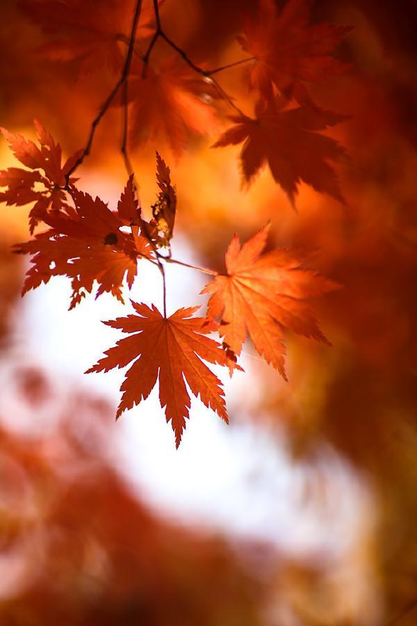 【暮秋,枫叶正红时】一重山,两重山, 山远天高烟水寒, 相思枫叶丹.