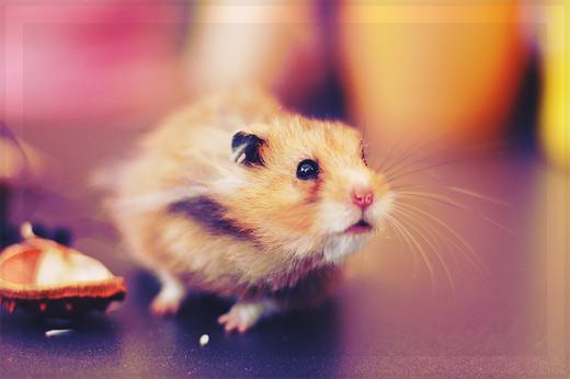 可爱仓鼠主题摄影