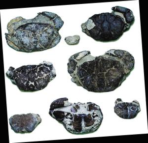 海口博物馆馆藏的大眼蟹化石。各种螃蟹化石。 资料图片