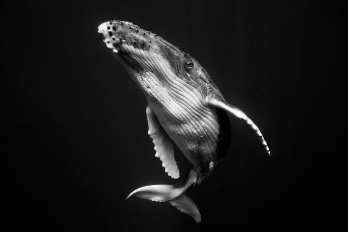 深海中的座头鲸优美动物摄影图片