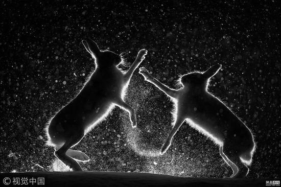 总冠军:雪中争斗(Snow spat)摄影师:Erlend Haarberg (挪威)